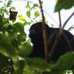 howler-monkey-escameca