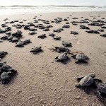 turtle-hatchlings